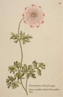Anemone florepleno (A.4)