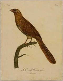 Le Coucal Rufin mâle