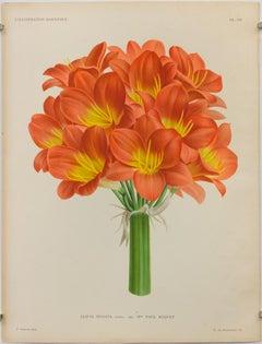 Clivia Miniata lindl. var. Madame Paul Buquet, Pl. CII