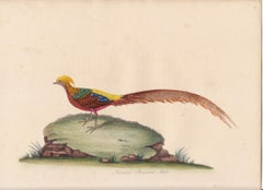 The Painted Pheasant, Male