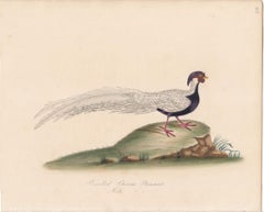 Pencilled Chinese Pheasant, Male