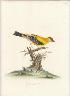 Yellow Gold Finch