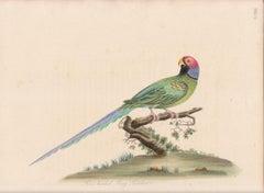 Rose-Headed Ring Parakeet