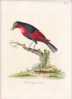 Red Winged Oriole