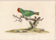 Red Headed Guinea Parrakeet