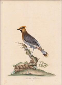 Waxen Chatterer, Male