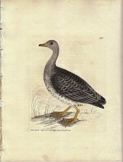 Wild Goose, Pl. 239