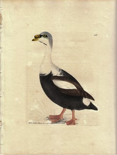 King Duck, Pl. 246