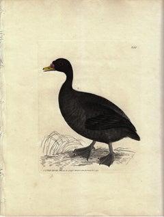 Scoter Duck, Pl. 250