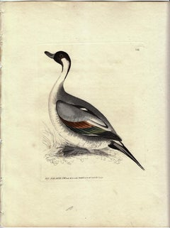 Pin Tail Duck, Pl. 263