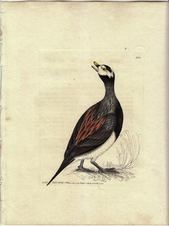 Long Tail Duck, Pl. 264