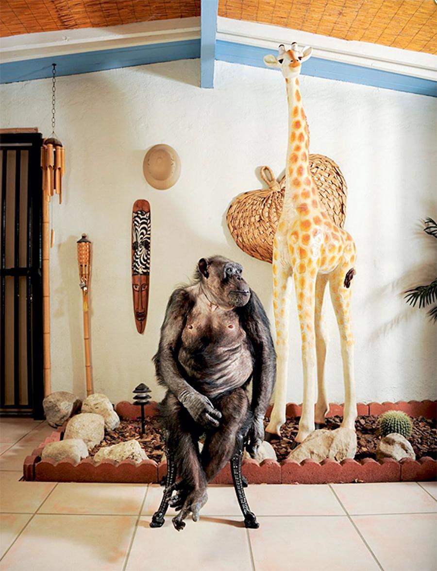 """Cheetah, Actor and Artist"", James Schnepf Chimpanze Photograph Palm Springs"