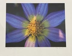 "Rodger Helwig ""Juul's Cosmos"" Dahlia, Golden Gate Park Color Photograph C.2000"