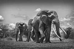 Leading the Way - Michel Ghatan, wildlife, black and white photography, elephant