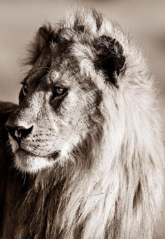 Brando - Michel Ghatan, lion, black and white, wildlife, africa, art, 60x40 in