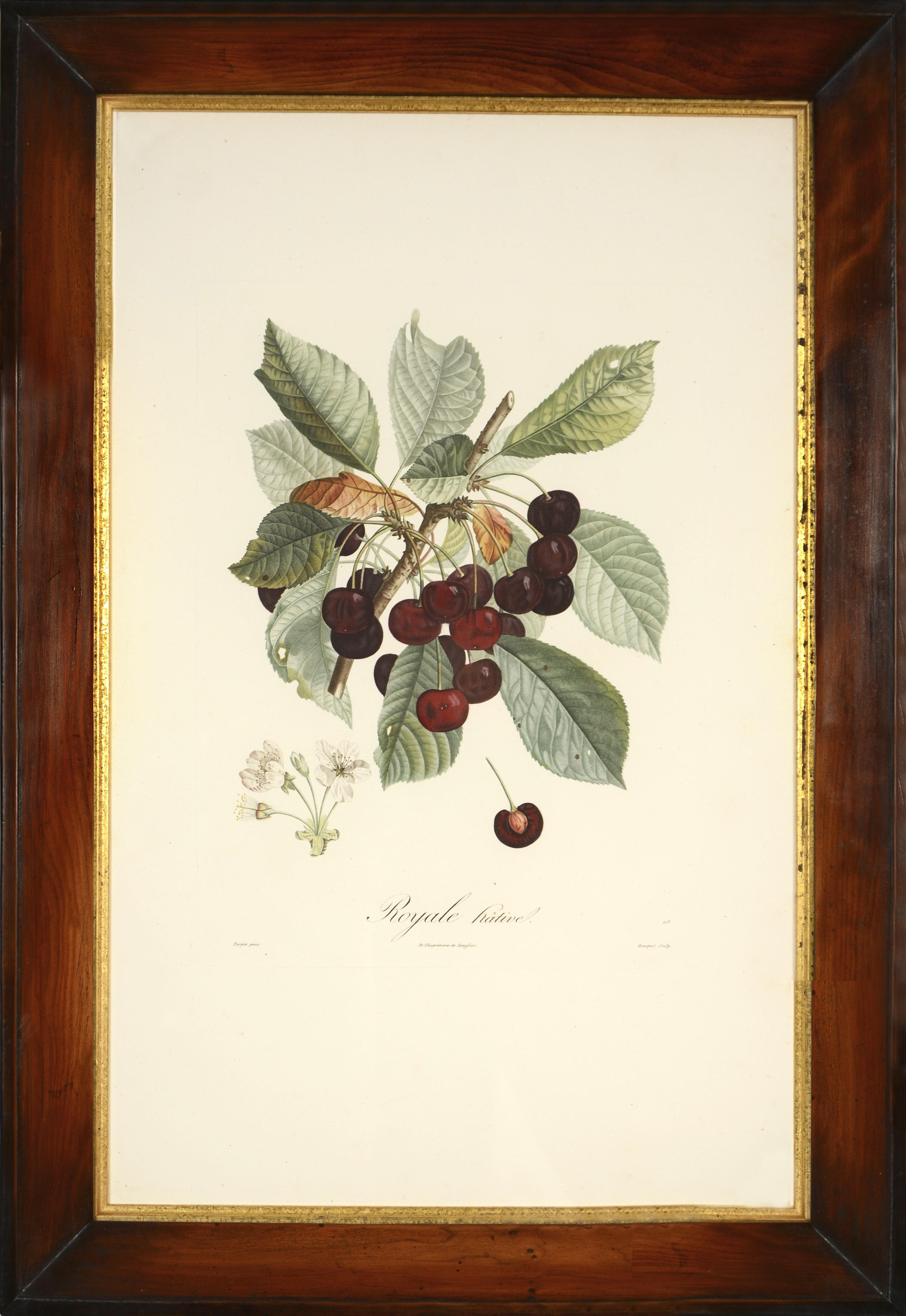 POITEAU/ TURPIN. Traité des arbres fruitiers: A Set of Four Cherries.