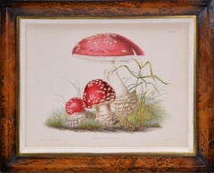 HUSSEY. Group of Six Illustrations of British Mycology