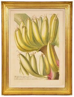 TREW / EHRET: Group of Three Engraved Botanical Plates Illustrating Fruit