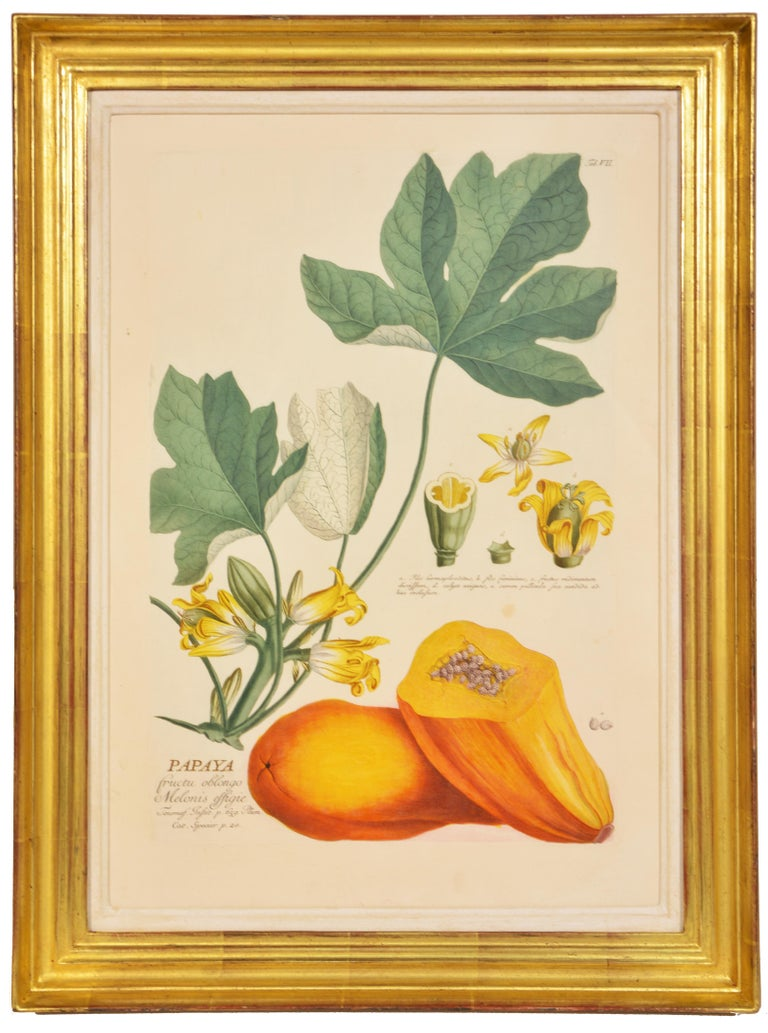 TREW / EHRET: Group of Three Engraved Botanical Plates Illustrating Fruit - Naturalistic Print by Christoph Trew & Dionysius Ehret