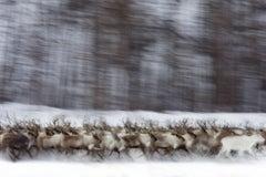 Rennes Sauvages, Siberia, 2013