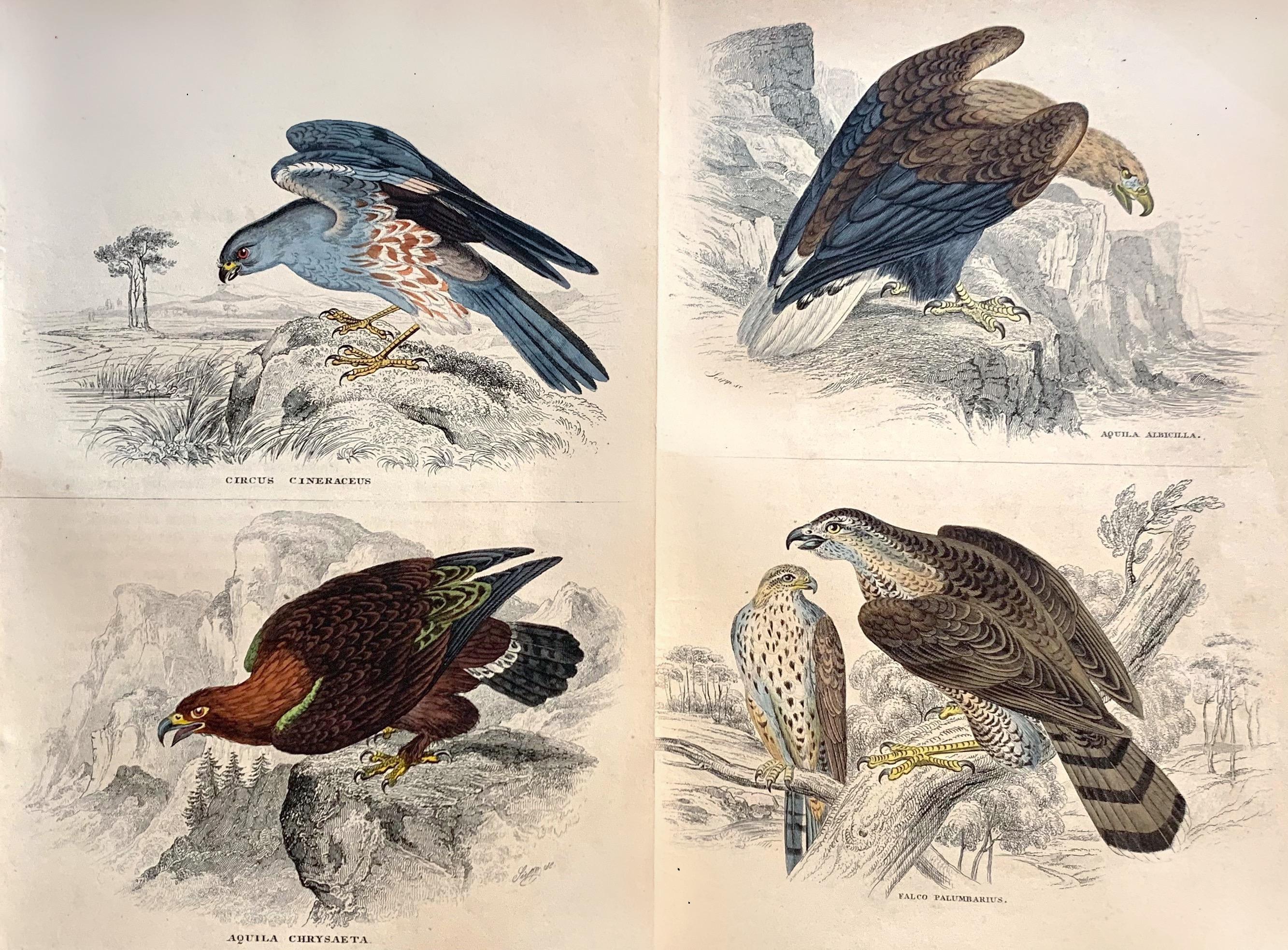 Birds of Prey Pair of Antique Prints - Hawk Falcon Eagle South American Harrier