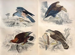 Birds of Prey Pair of Antique Prints - Hawk Falcon Eagle South American Harrier