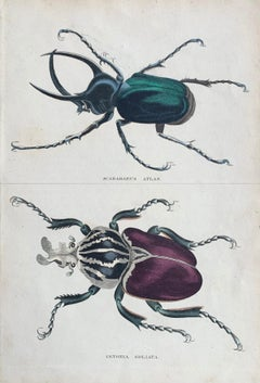 Beetles Antique Hand Coloured Print - Tropical Exotic