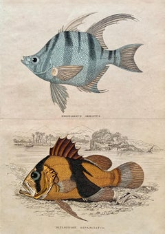 Exotic Fish Antique Hand Coloured Print - Tropical Marine