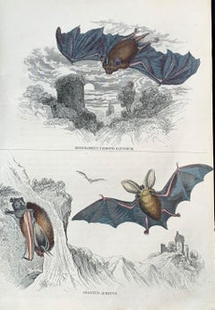 Bats Antique Hand Coloured Print - Vampire Bat