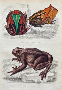 1840 Frog Antique Hand Coloured Print - Tropical Exotic Frogs South America