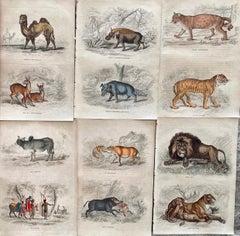 Exotic Animals Antique Hand Coloured Print - Africa Lion Camel Tiger