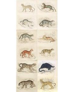 Antique Prints of Rare Felines - Big Cat - Exotic Tropical Tiger Cat Jaguar