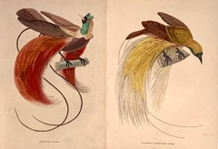 1840 Bird of Paradise Pair of Antique Hand Coloured Print - Birds tropical