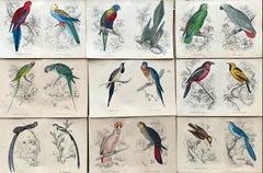 Antique Prints Rare Exotic Birds - Ara Parrot Cockatoo - Tropical Colourful Set