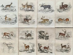 Antique Prints of Rare Deers - Doe Stag Muntjac Deer Moose Hunt - Set Lama