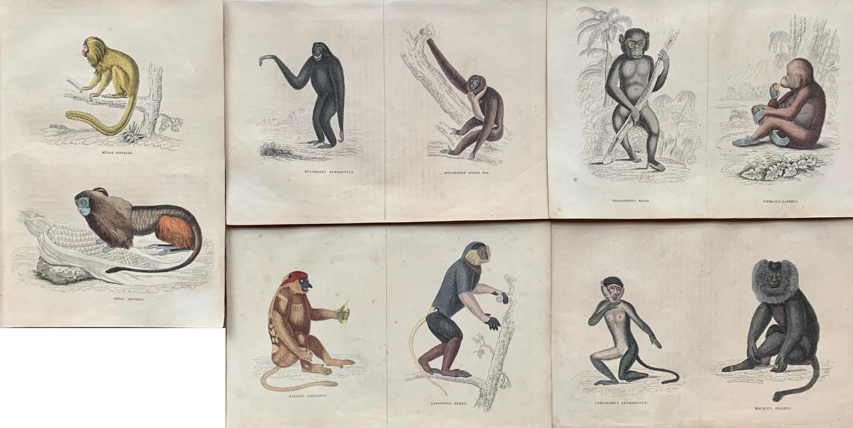 Antique Prints Rare Exotic Monkey - Baboon Chimpanzee Orangutan - Tropical Set