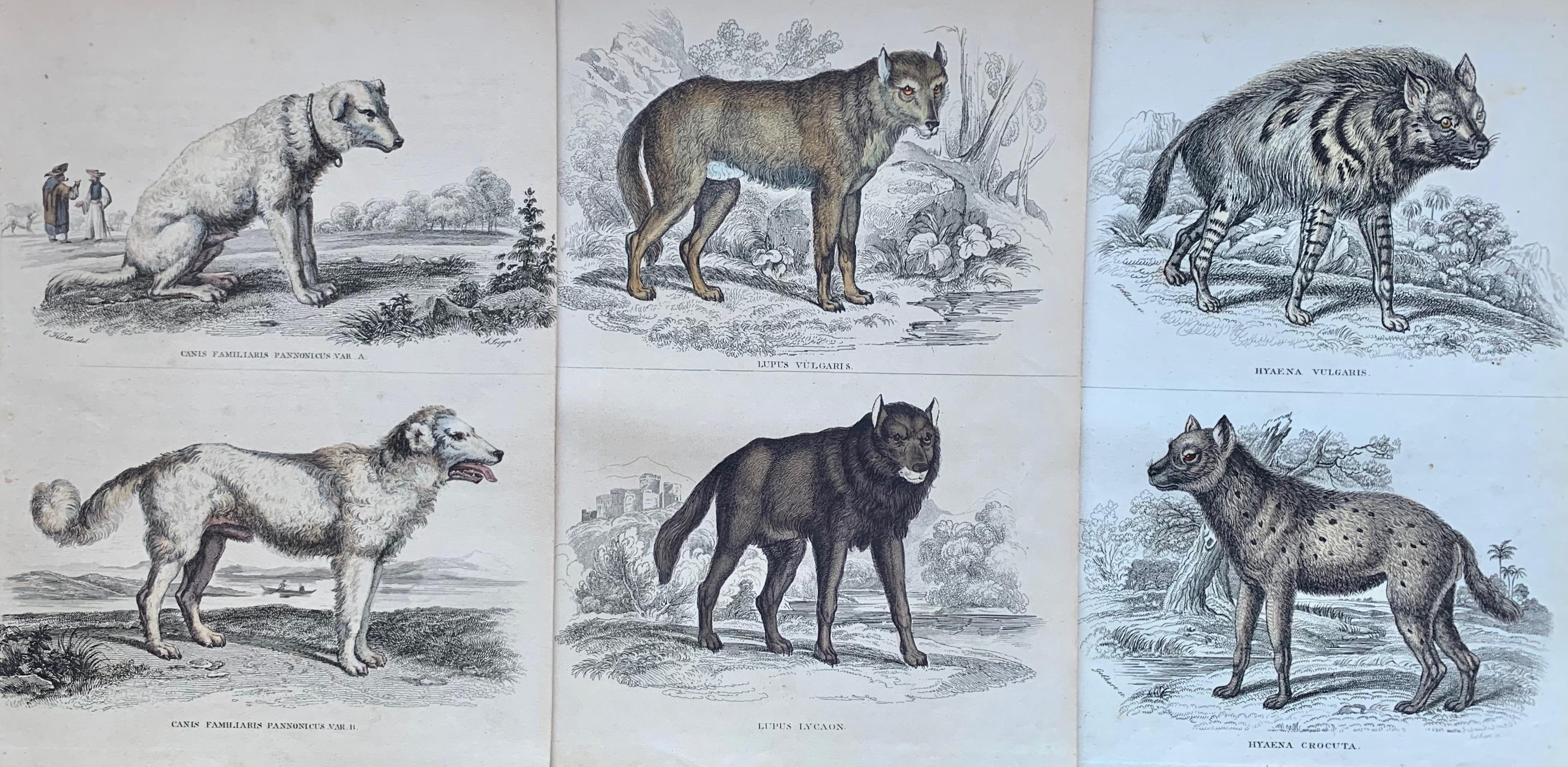 Antique Prints Dangerous Canines - Wolf Hyena Guard Dog