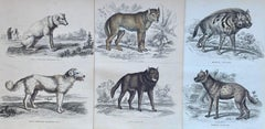 Antique Prints Dangerous Canines - Wolf Hyena Guard Dog