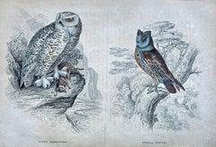 Owl Antique Hand Coloured Print - Owls Birds Forest prey