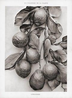Encyclopédie de la Plante - Citronnier