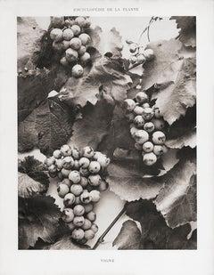 Encyclopédie de la Plante - Vigne