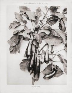 Encyclopédie de la Plante - Aubergine