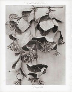 Encyclopédie de la Plante - Chèvrefeuille