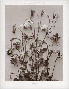 Encyclopédie de la Plante - Ancolie