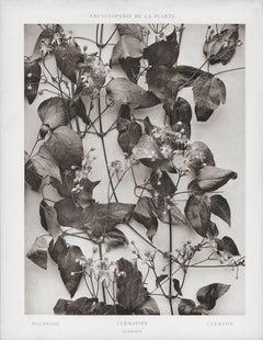 Encyclopédie de la Plante - Clématite