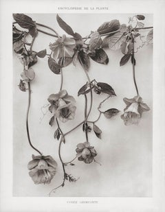 Encyclopédie de la Plante - Cobée Grimpante