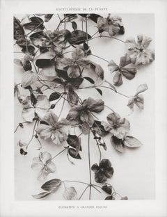 Encyclopédie de la Plante - Clématite a Grandes Fleurs