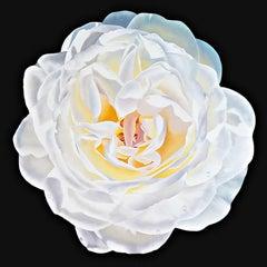 "Ora Sorensen, ""White Rose"", Photorealistic Flower Oil Painting on Canvas"