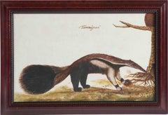 Latin-American School (18th century) - Tamanuâguacû (Ant-eater)