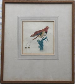 French School, early 19th Century watercolor, Study of a bird of paradise